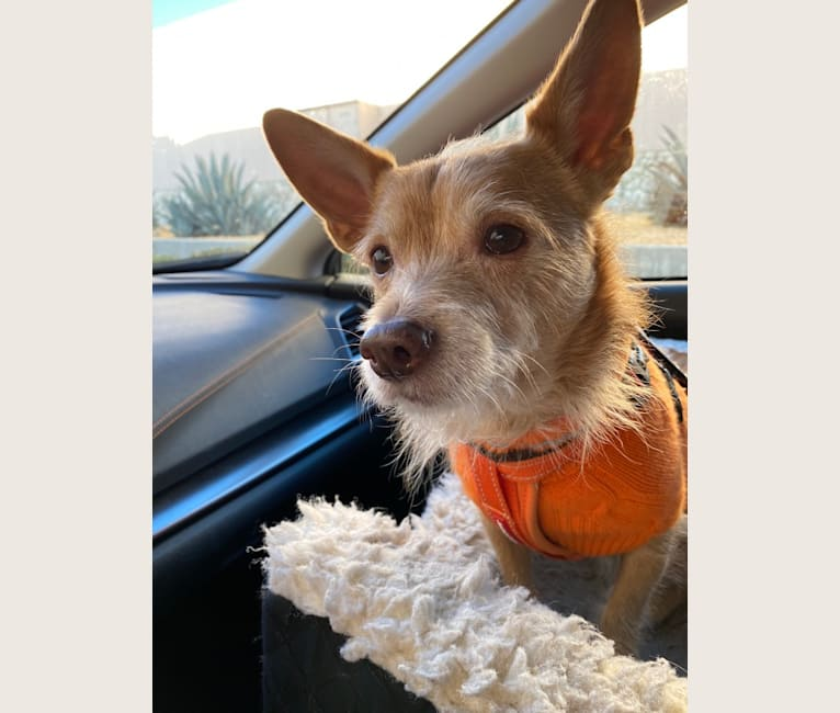 Photo of Franz, a Chihuahua, Poodle (Small), and Mixed mix in Los Angeles, California, USA