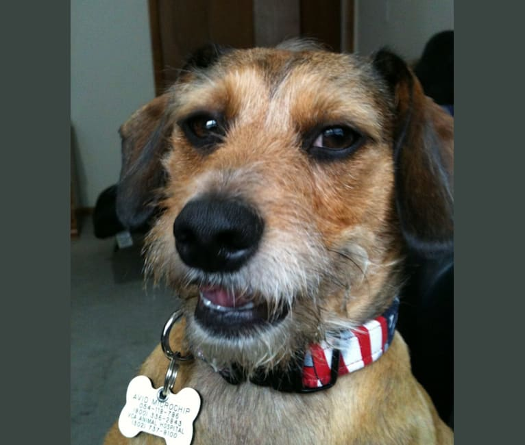 Photo of Drizzy, a Dachshund, Chihuahua, Maltese, and Pug mix in Abilene, TX, USA