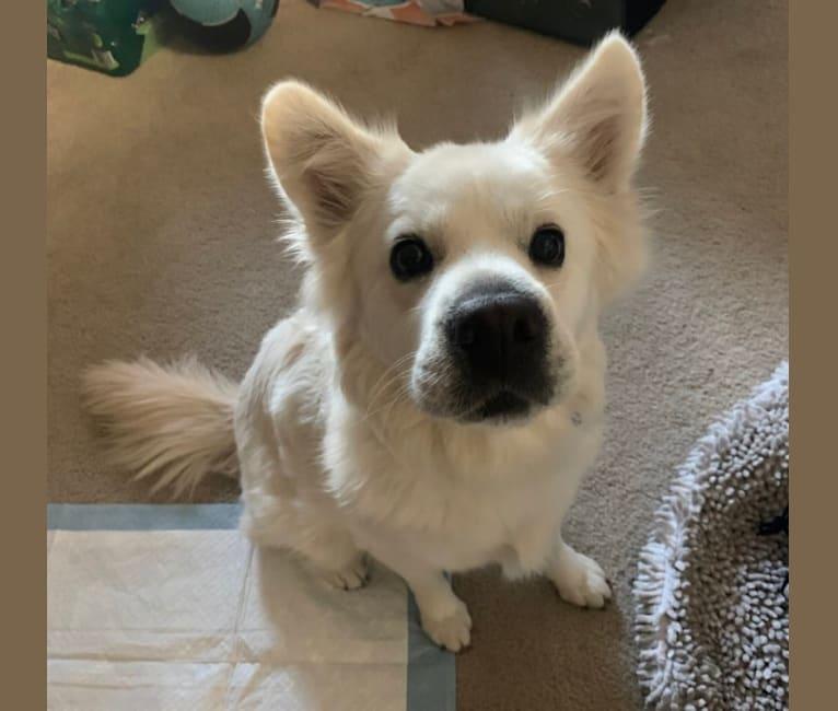 Photo of Peanut, a Cocker Spaniel, Chow Chow, German Shepherd Dog, and Mixed mix in Tijuana, Baja California, Mexico