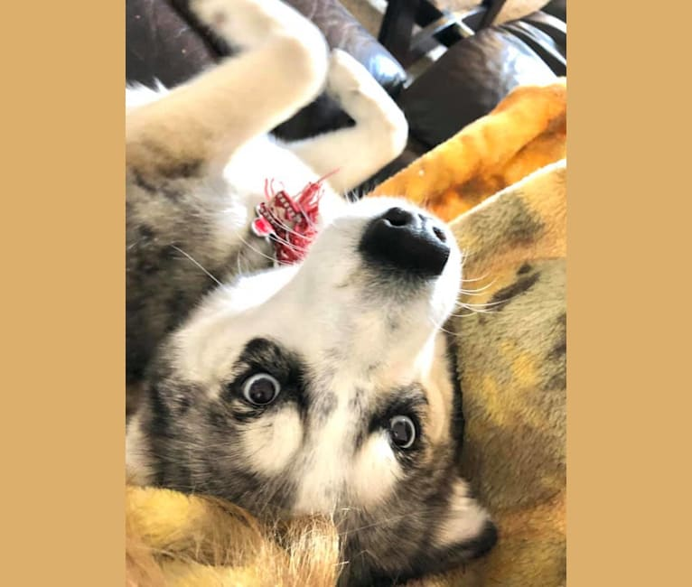 Photo of Tazzy, a Pomsky  in Green City, MO, USA