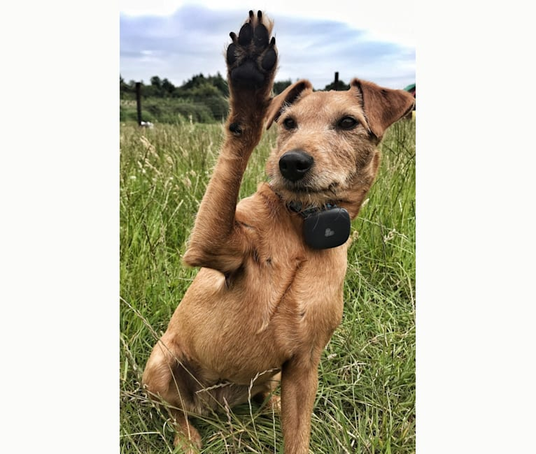 Photo of Madison (IKC - The Mad Patter), a Russell-type Terrier, Lakeland Terrier, and Border Terrier mix in Ireland