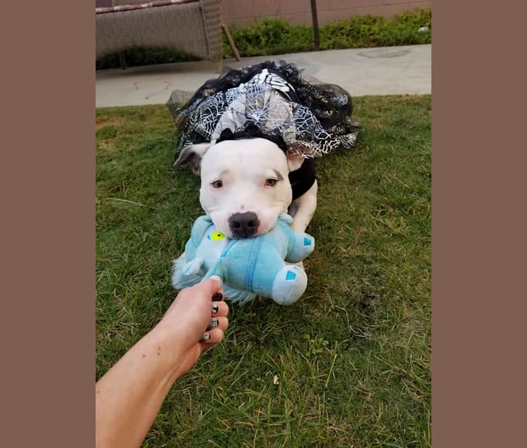 Photo of Luna, an American Pit Bull Terrier, American Staffordshire Terrier, and German Shepherd Dog mix