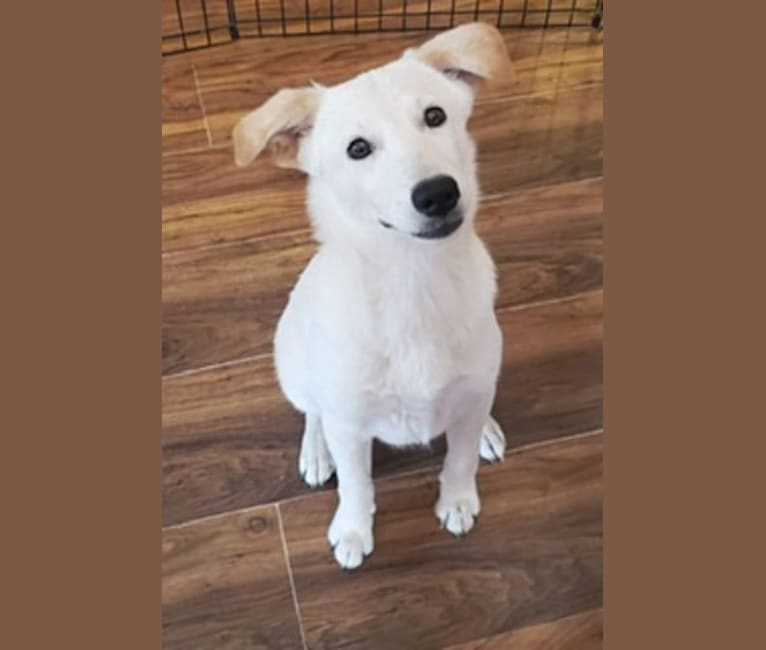 Photo of Ellie, an Australian Cattle Dog, Great Pyrenees, Labrador Retriever, and Mixed mix in Fulton, Missouri, USA