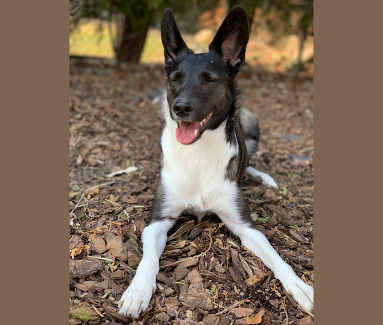 Photo of Bailey, a Border Collie and Shetland Sheepdog mix in Grosse Pointe Woods, Michigan, USA