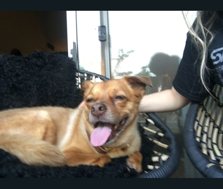 Photo of Paulie, a Chihuahua, Pug, Poodle (Small), Rottweiler, and Mixed mix in Atlanta, Georgia, USA