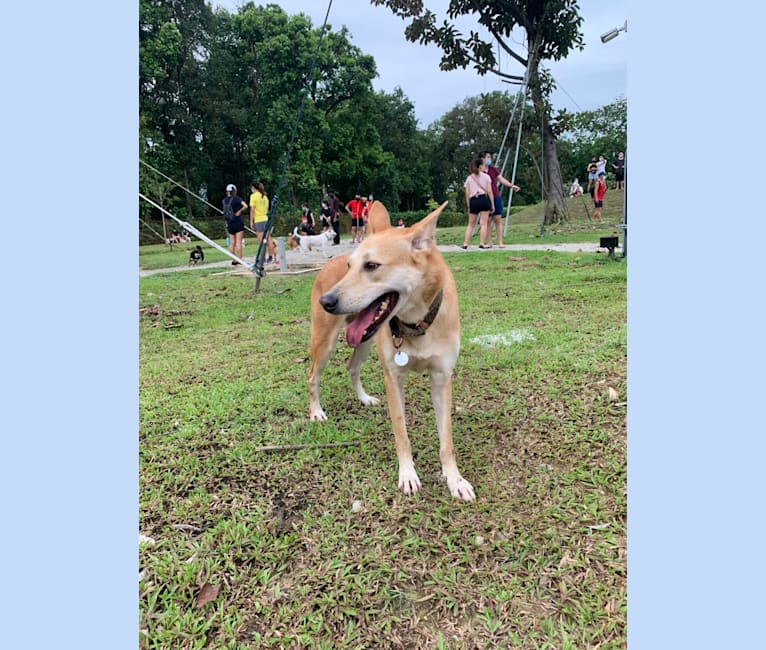 Photo of Becky, a Southeast Asian Village Dog  in Singapore