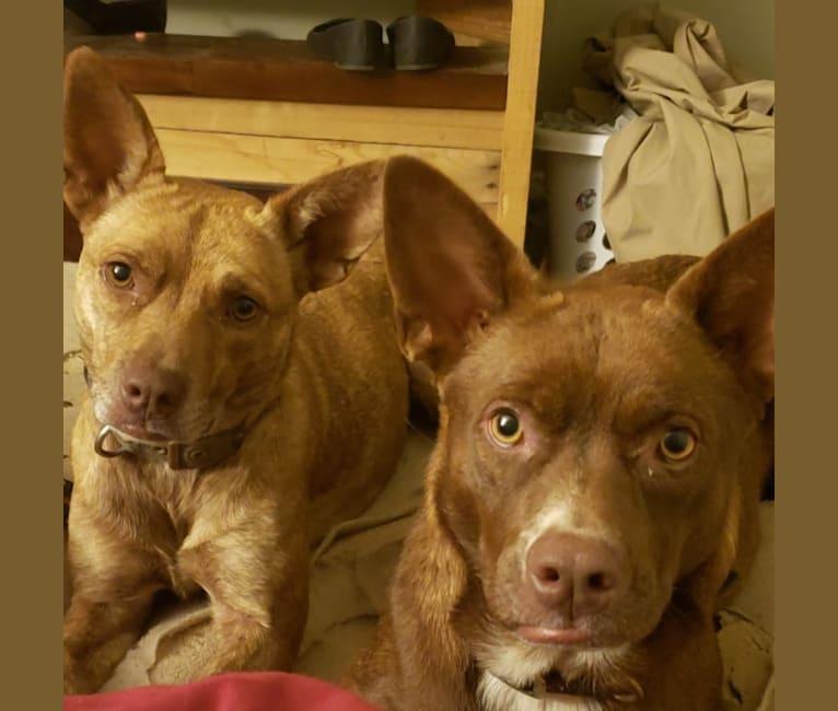 Photo of Coyote, a Boston Terrier and Labrador Retriever mix in Texas, USA