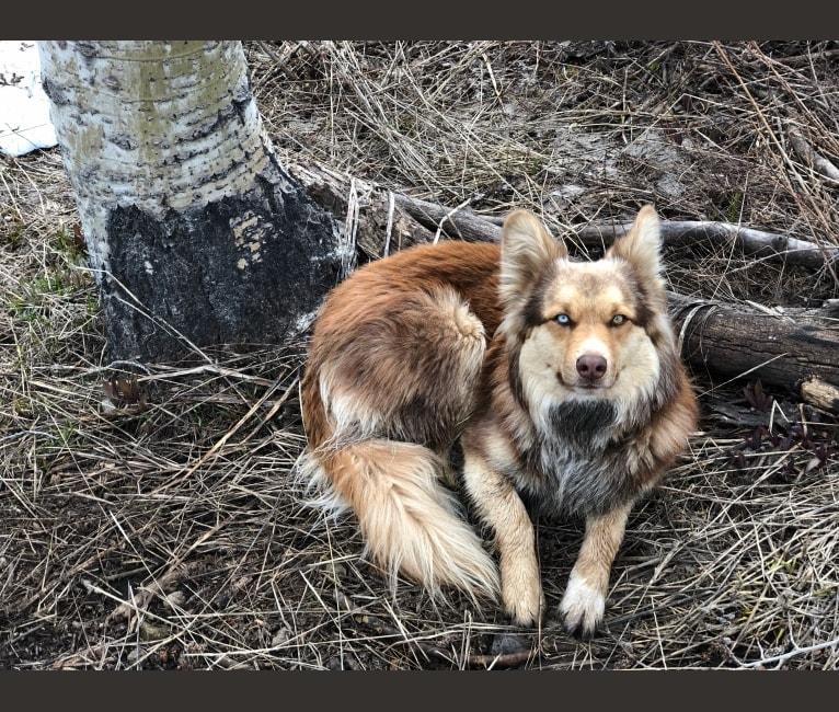 Photo of Ursa, a Border Collie, Australian Cattle Dog, Australian Shepherd, Siberian Husky, and Mixed mix in New Mexico, USA
