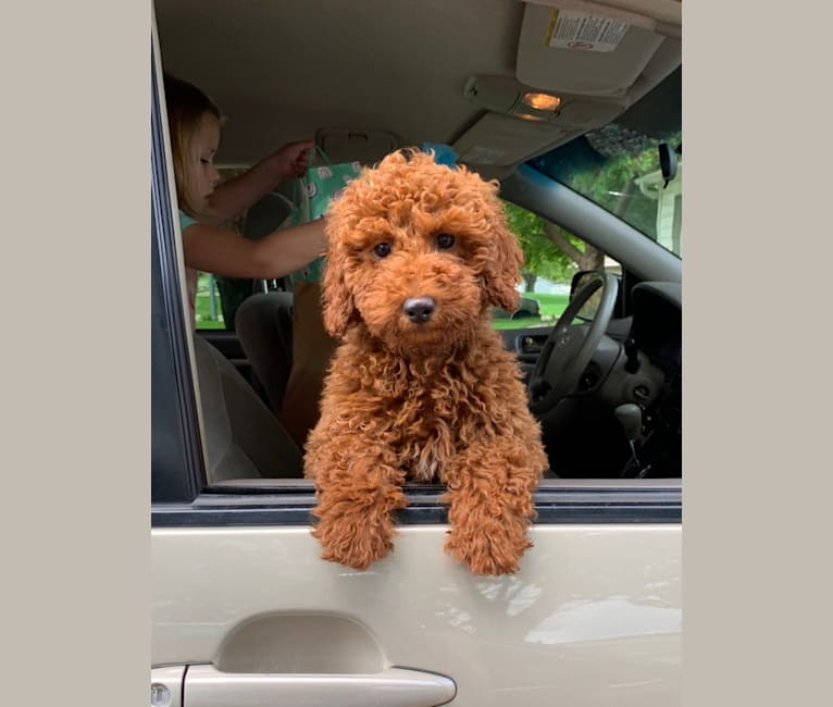 Photo of Sammy, a Poodle (Small)  in Iowa, USA