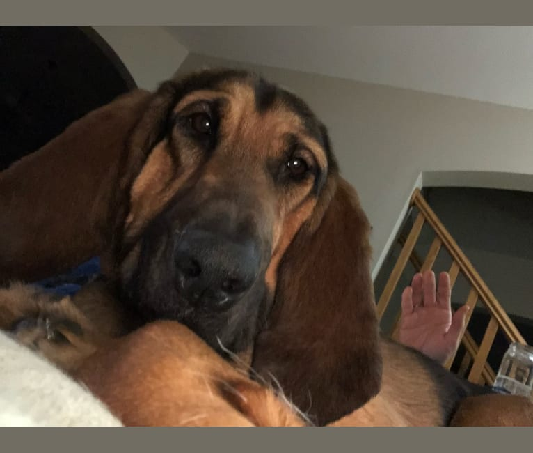 Photo of Penelope, a Bloodhound  in New Berlin, Wisconsin, USA