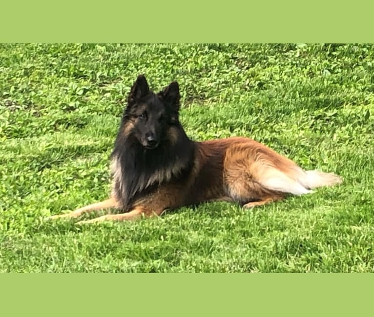 Photo of Cord, a Belgian Shepherd