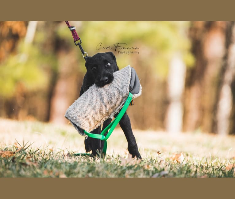 Photo of Vaatu, a Black Russian Terrier and Belgian Malinois mix