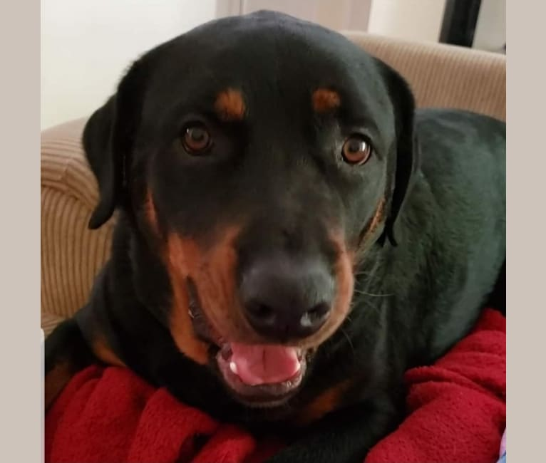 Photo of Bear, a Rottweiler and Mixed mix in El Sobrante, California, USA