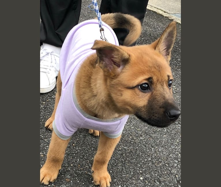 Photo of yuki, a Japanese and Korean Village Dog and Shiba Inu mix in 京都市, 京都府, 日本