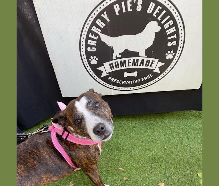 Photo of Zena, a Staffordshire Bull Terrier  in Brisbane, Queensland, Australia