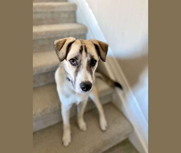 Photo of Teddy, an American Pit Bull Terrier, German Shepherd Dog, Australian Shepherd, Siberian Husky, and Great Pyrenees mix in Colorado, USA