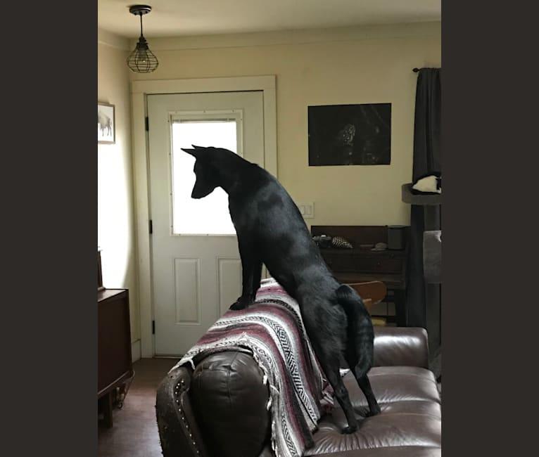 Photo of Ember, a Karelian Bear Dog, Alaskan Malamute, and Irish Wolfhound mix in Asheville, North Carolina, USA