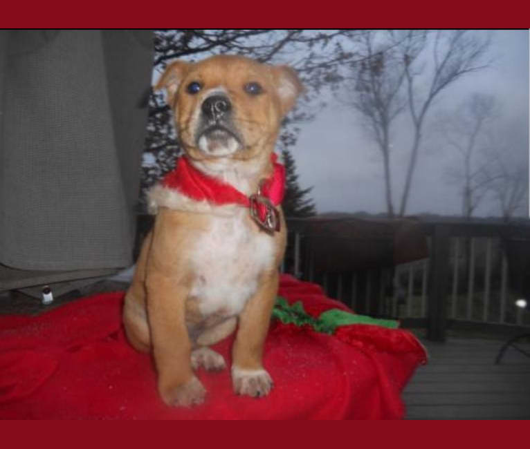 Photo of Timber, a Chow Chow, German Shepherd Dog, and Boxer mix in Kentucky, USA