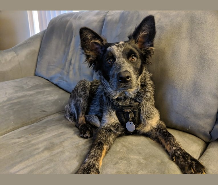 Photo of Odin 'stinky butt' Mussatti, an Australian Cattle Dog  in Wisconsin, USA