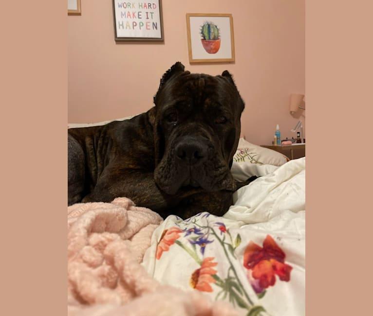 Photo of Diesel, a Boerboel, Neapolitan Mastiff, and Rottweiler mix in Pasadena, Maryland, USA
