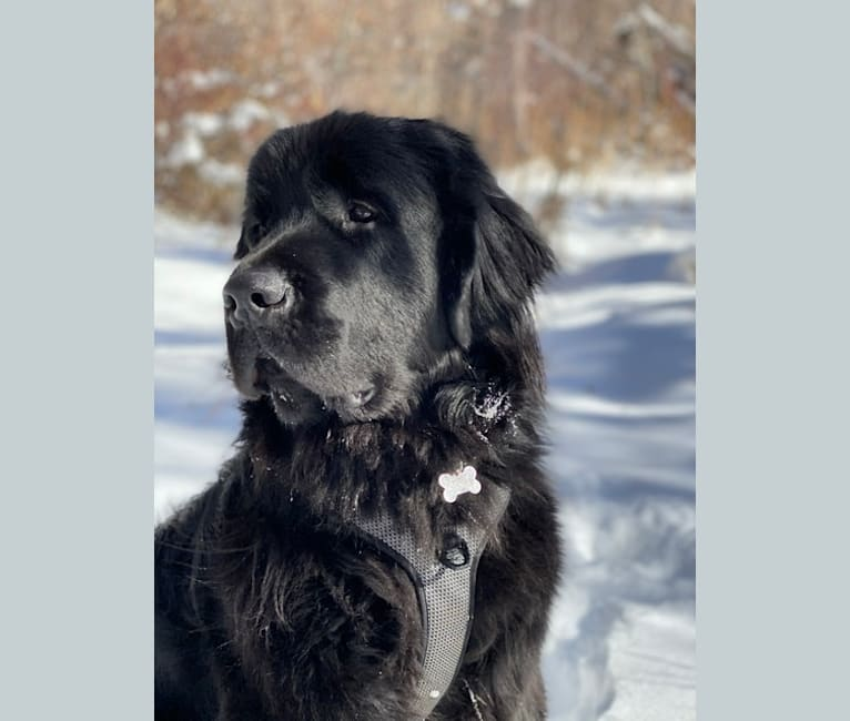 Photo of Kyburz, a Newfypoo  in Cañon City, CO, USA