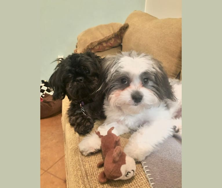 Photo of Mookie, a Shih Tzu  in Jackson, Mississippi, USA