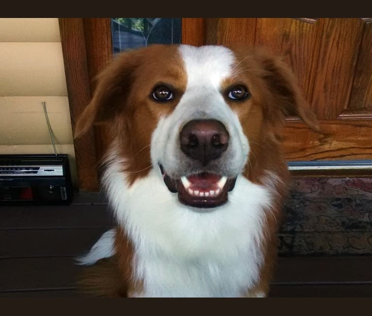 Photo of Zak, an English Shepherd  in Moneta, Virginia, USA