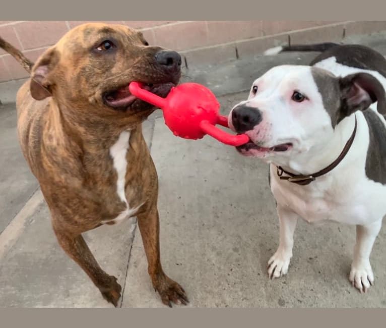 Photo of Puppy Love, an American Pit Bull Terrier and Rottweiler mix in Long Beach, California, USA
