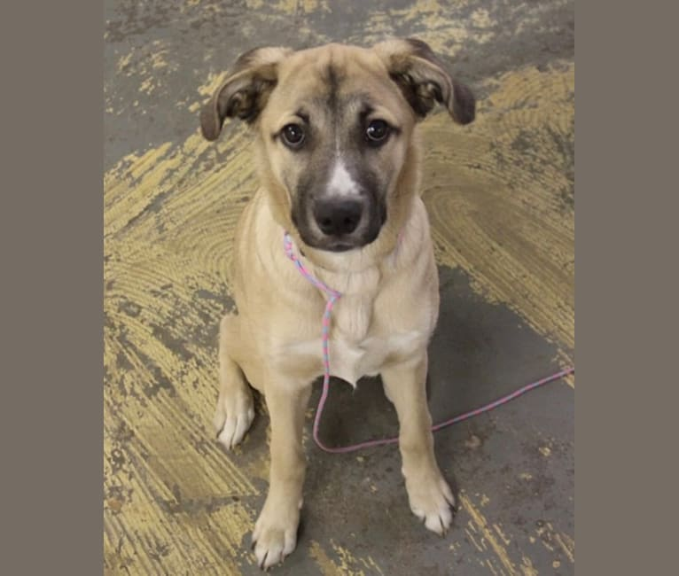 Photo of Agnes, a Boxer, German Shepherd Dog, Great Pyrenees, and Rottweiler mix in Louisville, Kentucky, USA