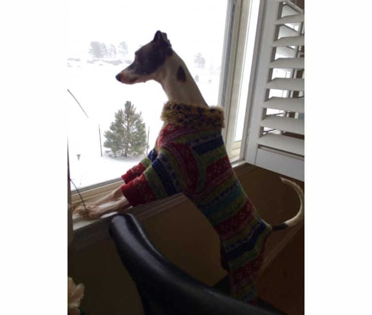 Photo of Maizee Mae, an Italian Greyhound  in Ruston, Louisiana, USA