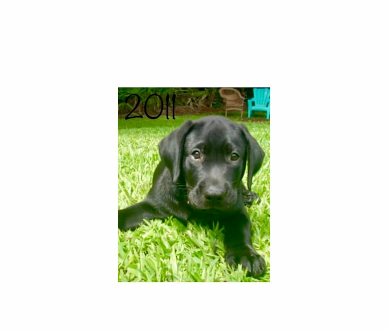 Photo of William (William Jefferson), a Labrador Retriever  in Fort Pierce, Florida, USA