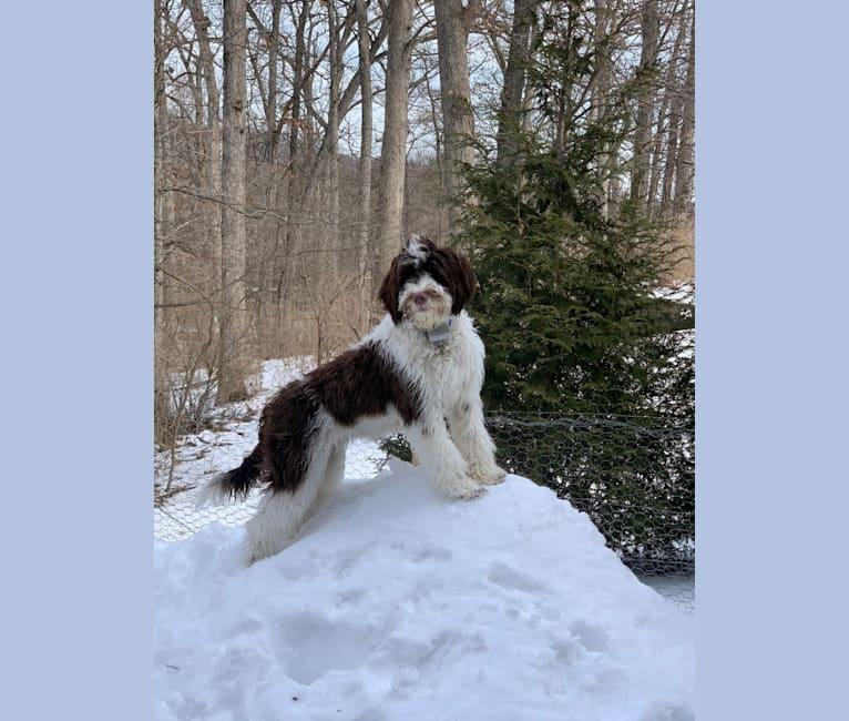 Photo of Cali, a Portuguese Water Dog  in Dover, Ohio, USA