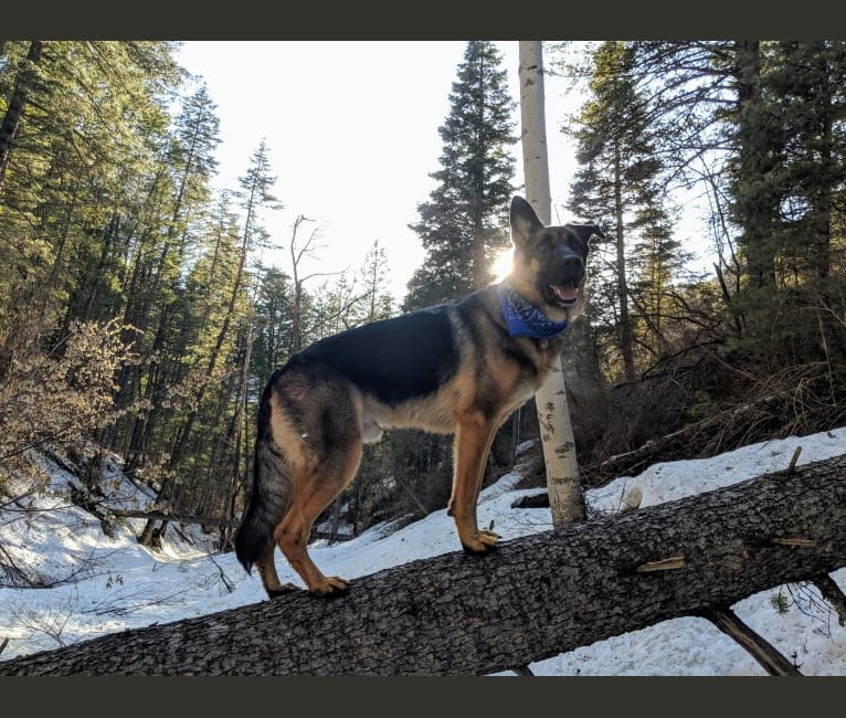 Photo of Brutus, a German Shepherd Dog and Samoyed mix in Utah, USA