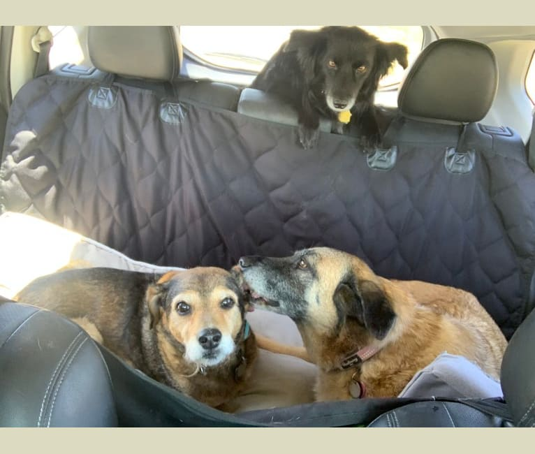Photo of Mo, a Chihuahua, American Pit Bull Terrier, Chow Chow, Poodle (Small), and Mixed mix in Phoenix, Arizona, USA