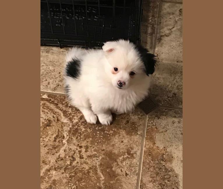Photo of Frankie, a Shih Tzu, Pomeranian, Maltese, and Chihuahua mix in Colorado Springs, Colorado, USA