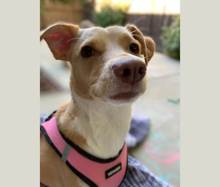 Photo of Winnie, a Chihuahua, Poodle (Small), Siberian Husky, Boxer, and Mixed mix in Mexico