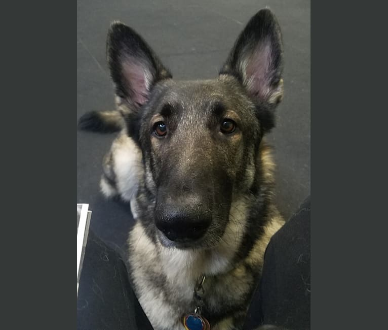 Photo of Balto, a German Shepherd Dog  in San Antonio, TX, USA