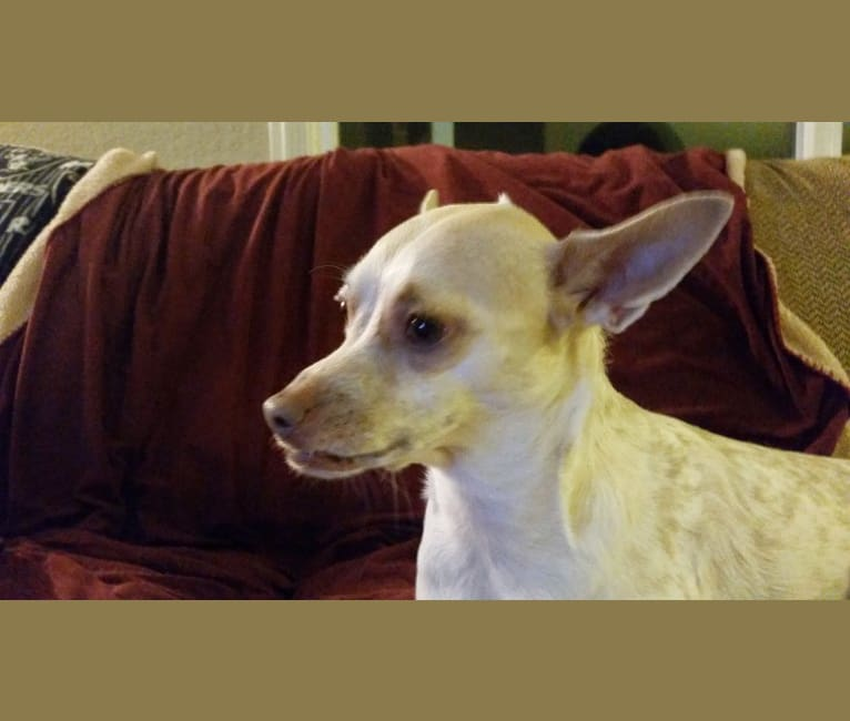 Photo of Tootie, a Chihuahua, Australian Cattle Dog, Poodle (Small), and Mixed mix in California, USA