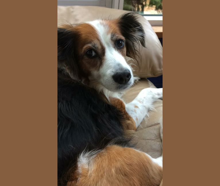 Photo of Turbo, an English Setter, Brittany, Yorkshire Terrier, and Mixed mix in Castellbisbal, Spain
