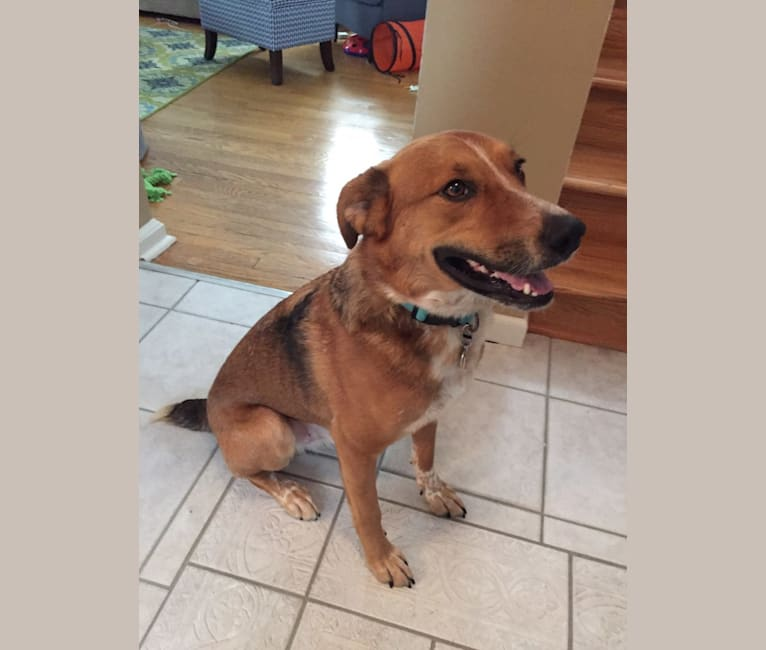 Photo of Jay, an Australian Cattle Dog, Australian Shepherd, German Shepherd Dog, and Mixed mix in Tennessee, USA