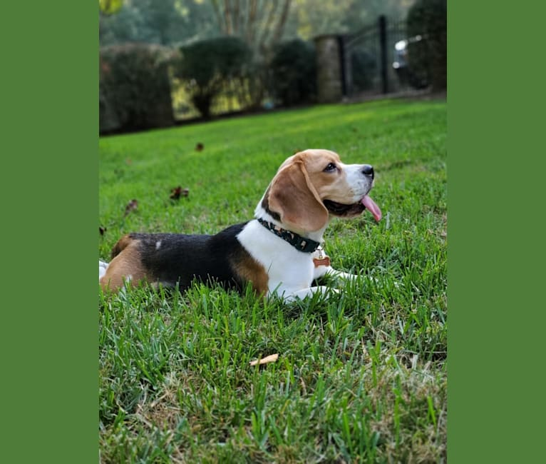 Photo of Lucy, a Beagle  in Spartanburg, SC, USA