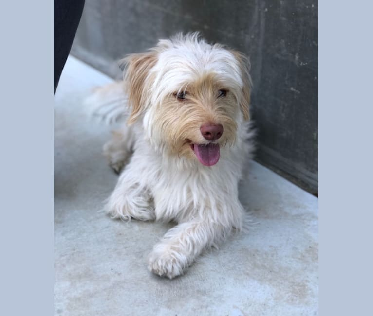 Photo of Murphy, a West Highland White Terrier, Shih Tzu, Dachshund, and Poodle (Small) mix in Montgomery, TX, USA