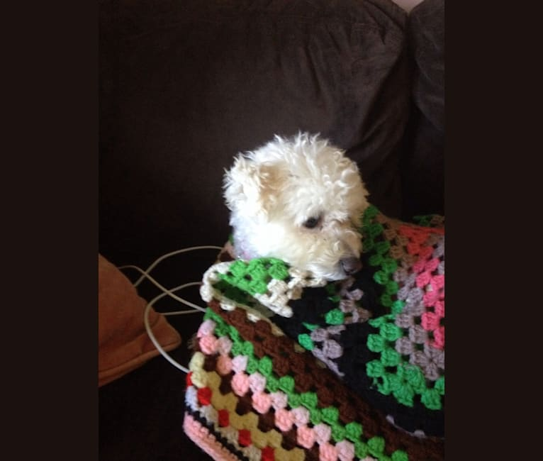 Photo of Zoey, a Bichon Frise  in Pennsylvania, USA