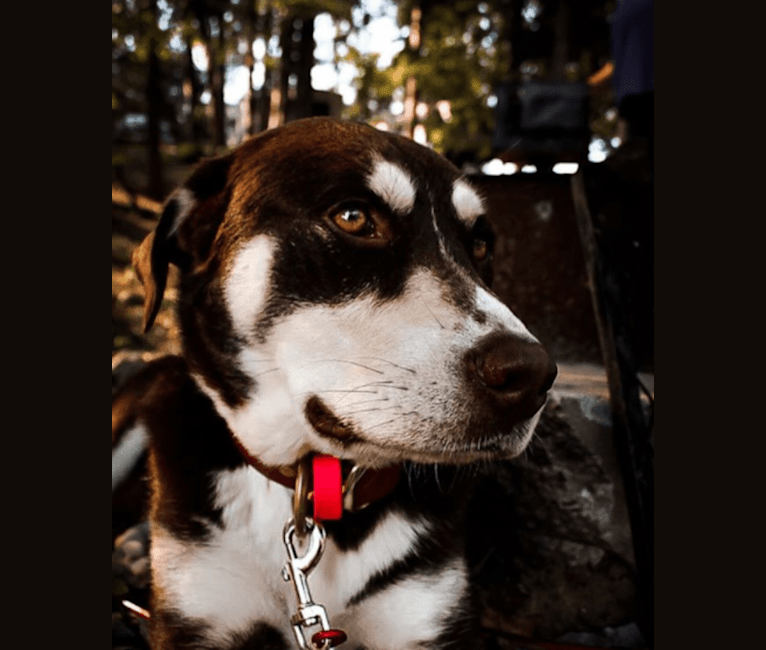 Photo of Brownie, a Siberian Husky, American Pit Bull Terrier, and Labrador Retriever mix in Yanceyville, North Carolina, USA