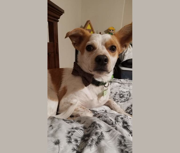 Photo of Niko, a Chihuahua, American Pit Bull Terrier, Maltese, Cocker Spaniel, and Mixed mix in California, USA