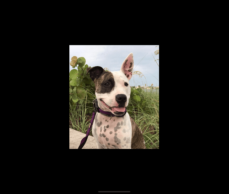 Photo of Pinky, an American Pit Bull Terrier and American Staffordshire Terrier mix in St. Petersburg, Florida, USA