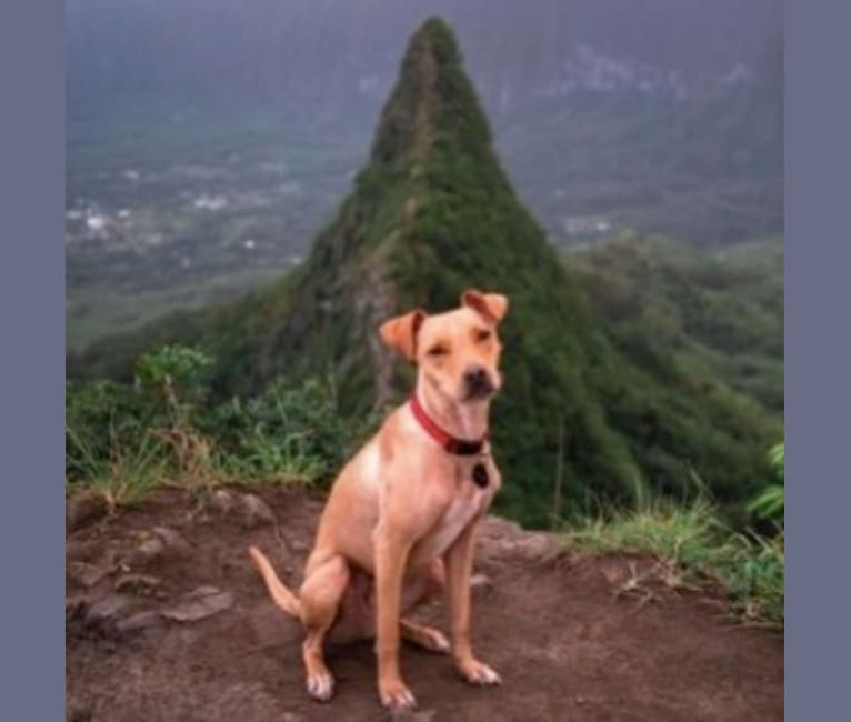 Photo of Riley, an American Pit Bull Terrier, Chihuahua, and Mixed mix in Hawaii, USA