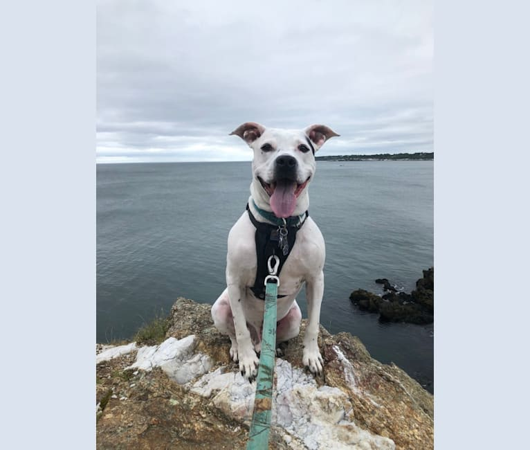 Photo of Diesel, an American Pit Bull Terrier, American Staffordshire Terrier, and Cocker Spaniel mix in Windsor, Vermont, USA