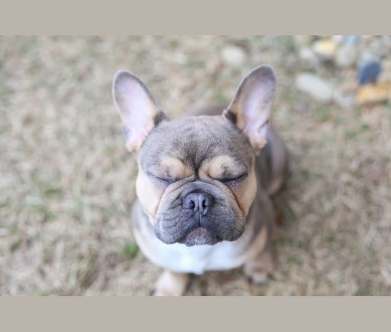 Photo of Chop, a French Bulldog  in Texas, USA