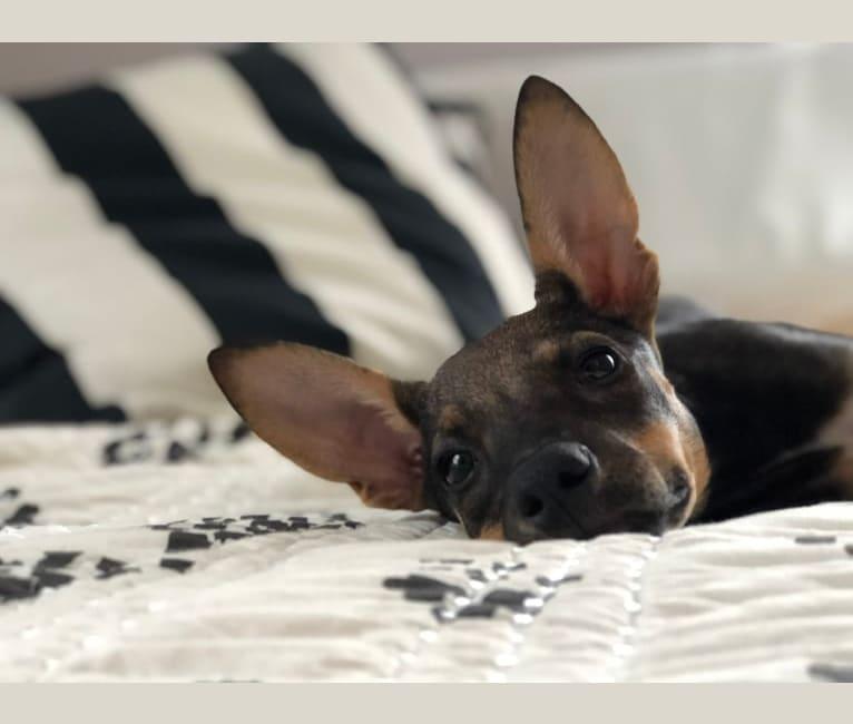 Photo of Hazel, an American Village Dog  in Aruba